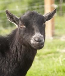 Charlie is an adoptable Pygmy Goat in Arlington, WA. Charlie is a sweet, 6 year old Pygmy wether. He is a black agouti, with white ears and muzzle. Charlie has been dehorned. He is a 'middle of the he...