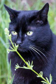 My cat Bagheera taken with a long lens
