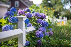 Genus: Hydgrangea    When they bloom: Early spring to late autumn Why we love them: The main flower clusters on hydrangeas are produced from the tips of shoots formed from the previous season. PLUS: 13 Facts Every Hydrangea Enthusiast Needs to Know