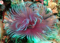Bispira | TUBE WORM -ORANGE BISPIRA SPECIES