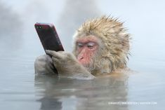 Snow monkey playing with cell phone he pinched from human. Photo by Marsel Van Oosten