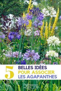 Agapanthus, Garden, Plants, Jardin