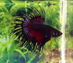 C88-Thai-Import-Black-Red-Devil-Crowntail-Male-Betta