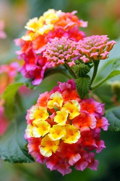 lantana-flowers-in-yellow-orange-and-pink-colors-f5.jpg (2000×3000)