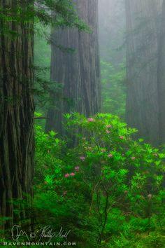 In The Mist - Del Norte Coast Redwoods State Park, Crescent City, California