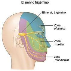 Neuralgia Del Trigémino Care Guide Information En Espanol Nerve Anatomy, Brain Anatomy, Human Body Anatomy, Medical Anatomy, Muscle Anatomy, Anatomy And Physiology, Trigeminal Neuralgia Treatment, Facial Nerve, Physical Therapy