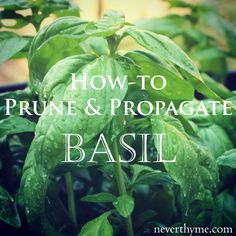 Easy Herbs To Grow, Easy Vegetables To Grow, Growing Herbs, Basil Growing, Pruning Basil, Small Front Gardens, Basil Plant, Fertilizer For Plants, Home Vegetable Garden