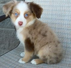Mini Australian Shepherd ~Saw a newly weaned baby with his new owners in Petco…