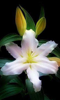 346 x 440 Beautiful Rose Flowers, Most Beautiful Flowers, Flowers Nature, Exotic Flowers, Pretty Flowers, White Flowers, White Lilies, Blossom Flower, Flower Pictures
