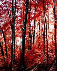 the red forest  8x10 fine art tree photograph by PhotogenicGallery, $20.00