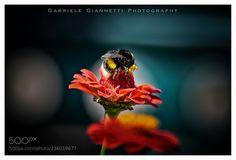 Beeeeeee! (Gabriele Giannetti / Livorno / Italia) #NIKON D3100 #macro #photo #insect #nature