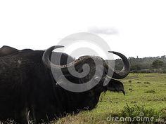 close-up-view-african-buffalo-grazing-meadow-grass African Buffalo, Elephant Images, African Animals, Zebras, Giraffe, Grass, Felt Giraffe, Grasses, Giraffes
