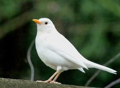 Extremely rare albino blackbird observed in North Devon England - Market Business News Love Birds, Beautiful Birds, Melanism, Devon England, North Devon, Bird Watching, Bird Art, Bird Feathers, Wildlife
