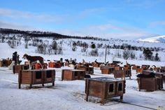 Perros nordicos en Tromsø Villmarksenter. Laponia noruega