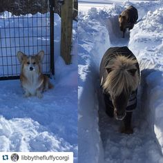 Tag @welsh_wear in a photo or video of your corgi playing in the snow and we will repost it! We will also Direct Message you a discount code for your next Welsh Wear purchase!  Checkout the adorable @libbythefluffycorgi and her fuzzy friends!  #Repost @libbythefluffycorgi .  I measure my snow in corgis and miniature horses... #Snowday #IMeasureInMinisAndCorgis #EarsIncluded  #Jonas @welsh_wear