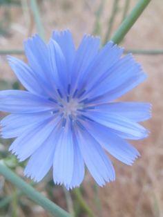 Q bonita Dandelion, Flowers, Plants, Pretty, Dandelions, Plant, Taraxacum Officinale, Royal Icing Flowers, Flower