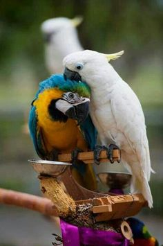 macaw with a sulphur crested cockatoo-he is preening him! Louise Glass
