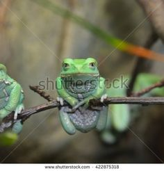 Waxy monkey leaf frog (Phyllomedusa sauvagii) in natural rainforest environment…