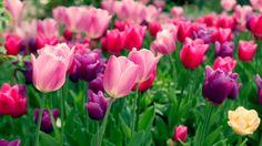Campo Tulipani Rosa (video)