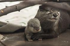 Otter Mum Shows Off Her New Pup at Tokyo's Sunshine Aquarium 3