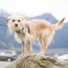 Mountain goat dog