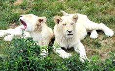 Rare White Lions by VickiDianeDesigns on Etsy