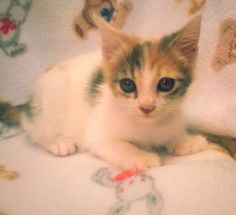 Meet Gypsy 22446, a Petfinder adoptable Domestic Short Hair Cat   Prattville, AL   Gypsy is an 8-week old, dilute calico, female kitten.Dogs and puppies may be adopted for a fee of...