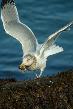 Herring Gull, (Larus argentatus) | Flickr - Photo Sharing!