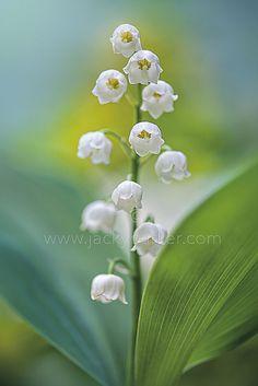 Convallaria majalis | Flickr - Photo Sharing!
