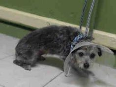 #A4783462 I'm an approximately 5 year old male terrier. I am not yet neutered. I have been at the Carson Animal Care Center since December 10, 2014. I will be available on December 14, 2014. You can visit me at my temporary home at C230.    Carson Shelter, Gardena, California https://www.facebook.com/171850219654287/photos/pb.171850219654287.-2207520000.1418340561./343598605812780/?type=3&theater