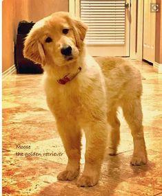 Golden retriever,,, ==>http://www.amazingdogtales.com/gifts-for-golden-retriever-lovers/ #GoldenRetriever