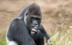 Acercamiento al rostro de un gorila