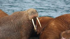 Los esfuerzos de conservación del océano Ártico no están siguiendo el ritmo de la pérdida de hielo y de la invasión del desarrollo económico, concluye la Unión Internacional para la Conservación de la Naturaleza. Siete áreas marinas en el Ártico necesitan ser Patrimonio Mundial  El océano necesita protección urgente: el deshielo marino está abriendo áreas antes inaccesibles a actividades como el transporte marítimo, la pesca de arrastre y la exploración de petroleo.