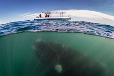 Southern Right Whales - Justin Hofman - Illustration and Photography (Freaking scary)