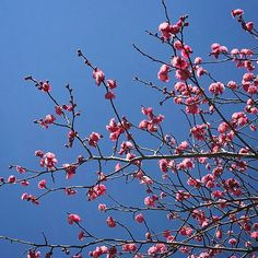 【emiandson】さんのInstagramをピンしています。 《・ 今日はとても寒いけれど、 春は近いのかな♡ #散歩 #walk #空 #イマソラ #sky #快晴 #東京 #tokyo #目黒 #meguro #green #landscape #1月 #tree #街路樹 #january #pink #桜》