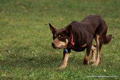 Kelpie Australian Shepherds, West Highland Terrier, Scottish Terrier, Rottweiler, Animal Photography, Colour Photography, Husky, Aussie Dogs, Dog Stories
