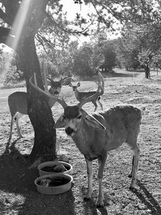 Davis Mountains Mule Deer don't mind sharing water pans with all the birds that call the Texas home, nor posing for artists and photographers. Fort Davis, Original Art, Original Paintings, Mule Deer, West Texas, Wildlife Art, Pet Birds, Photographers, Moose Art