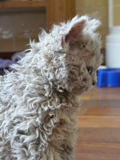 LaPerm. LaPerms are a rex breed that have a tight, curly coat that comes in a wide variety of colors. Because of their coat, they have been shown to be a somewhat hypoallergenic breed.
