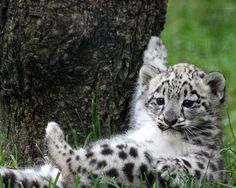 Snow Leopard cub.     Looks like it has a question to ask the teacher!