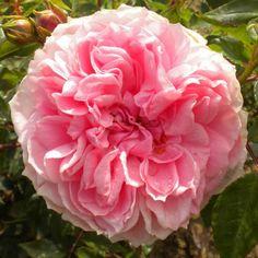 Dunham Massey (Shrub Rose)