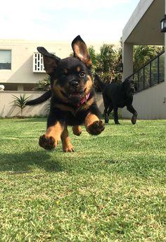 Rottweiler puppy joy! #rottweilerpuppy