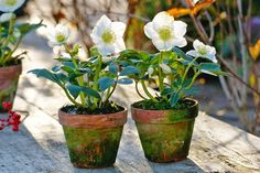 Give your hellebores a helping hand | The Times