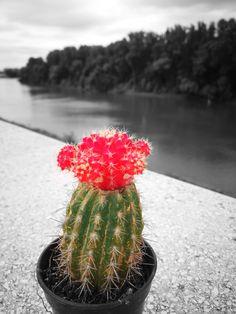 #kaktus #blackandwhite #red #green #photography #photographylove #mfanniphoto #myphoto #hungary #tisza #alföld #2017 #summer #sun