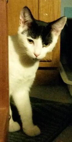 "Ghost is a 5month old DSH male with Turkish van markings. He is mostly white, with a black ""cap"" and a long black tail with a white ring at the tip. He was rescued from an unsafe colony in Millstone and was lovingly fostered. He loves to be pet,..."