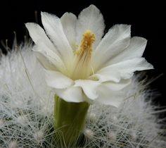 Mammillaria - Mammillaria senilis var. albiflora