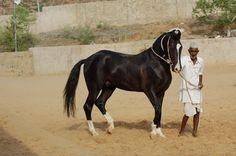 Marwari horse (indigenous horses of india): July 2010