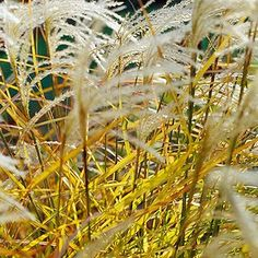 Are There Any Ornamental Grasses That Will Grow in Partial Shade? Feather Reed Grass, Mexican Feather Grass, Shade Garden Plants, Hosta Plants, Ornamental Grass Landscape, Ornamental Grasses, Spring Flowering Bulbs, Blooming Plants