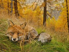 2015 FOX FOUND Once a royal hunting retreat, Gran Paradiso National Park preserves a wild side of Italy. Here, a red fox lies in wait, camouflaged in the autumn woods. Like all foxes, those in Gran Paradiso are adaptable opportunists; they'll catch fish, hunt rabbits, or scavenge picnic scraps.