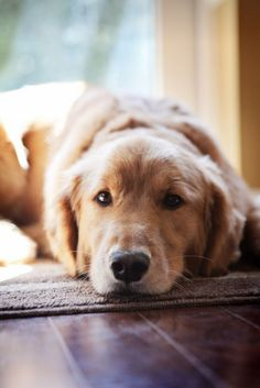 typical look from a golden retriever - not sure which I want more- him or a spaniel. I've always wanted a Golden Retriever! Beautiful Dogs, Animals Beautiful, Cute Animals, Cute Puppies, Cute Dogs, Dogs And Puppies, Doggies, Shitzu Puppies, Collie Puppies