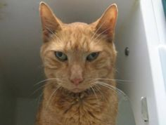 JAY - A1084729 - - Manhattan ***TO BE DESTROYED 08/26/16***DELICIOUS GINGERBREAD MAN WITH GREAT BEHAVIOR RATING READY TO BE YOUR FUREVER FRIEND! Jay is a three year old neutered orange boy who is positively purrfect! He's a total package–super sweet, a pro headbutter, relaxed, attention-seeking and already neutered. He came into the shelter healthy and now that he has caught the shelter cold (easily treatable with a round of antibiotics), he has been fast-tracked t